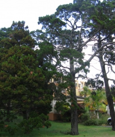 Preliminary tree impact assessment report for development near Coastal Cypress Pine, Callitris columellaris, Ballina