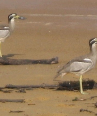 Beach Stone Curlew pre-clearing assessments, Cardwell, North Queensland.