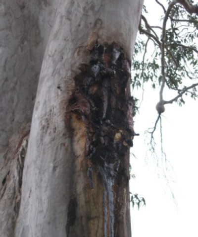 Incision marks from glider sap feeding on eucalypt, fauna habitat assessment for land subdivision west of Grafton
