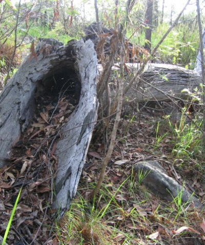 Fauna habitat searches of fallen timber for development ecological assessment, Coutts Crossing via Grafton
