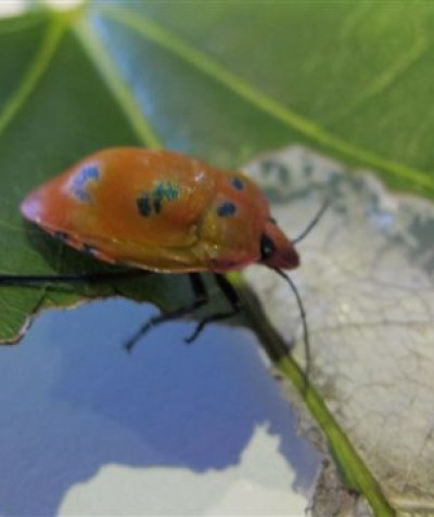 Harlequin beetle pest feeding on Flame Tree (Brachychiton acerifolius), Byron Bay