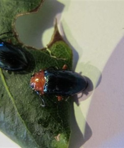 Pittosporum beetles feeding on Sweet Daphne, Pittosporum undulatum, Wollongbar