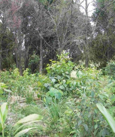 Rainforest vegetation management plan with weed control and plantings, Tintenbar via Ballina