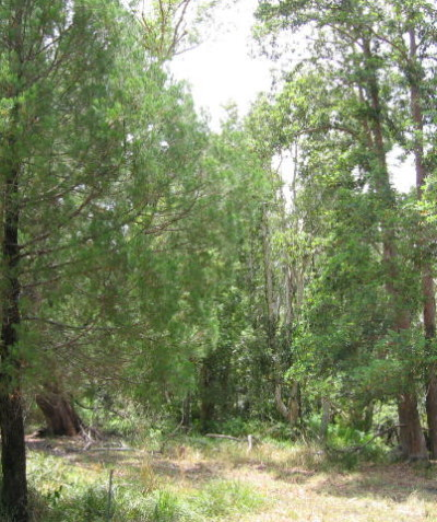 Endangered Ecological Community EEC survey, Coastal cypress pine forest, Broadwater