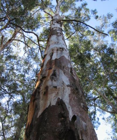 Koala habitat assessment including Spot Assessment Technique and tree scratch mark assessment, Illuka