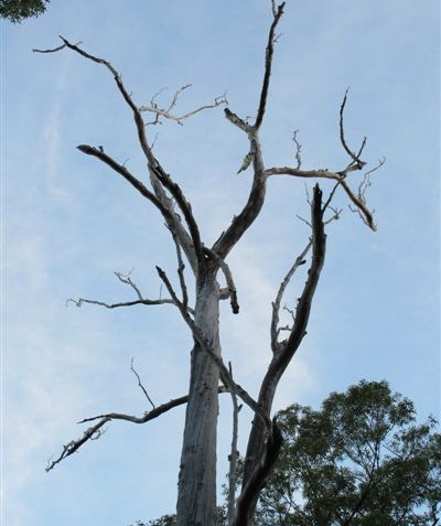 Sunset nocturnal stag watch on dead tree with hollow spouts leaning over road, Kyogle Shire