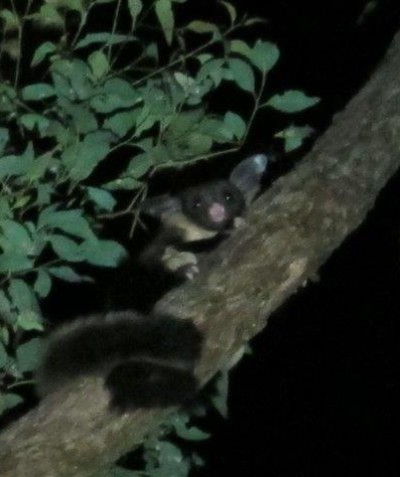 Threatened Yellow-bellied Glider, Kyogle Shire