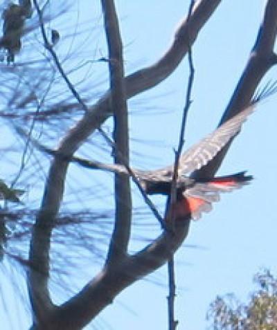 Threatened Glossy Black-cockatoo habitat assessment, Grafton