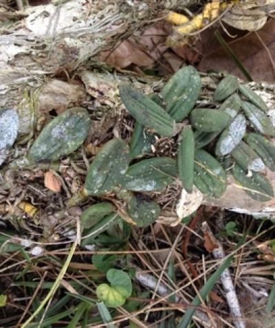 Epiphytic Tongue Orchid (Dockrillia linguiformis) on Broad-leaved Paperbark, Lennox Head