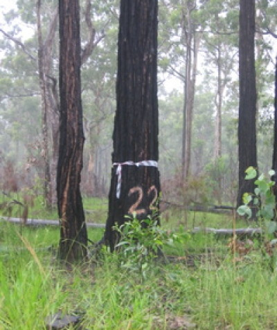 Comprehensive Review of Environmental Factors (REF) prepared for 400 roadside trees Halfway Creek to Bangalow, RMS North Coast Hazard Trees Program