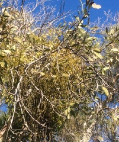 Leafless Jointed Mistletoe parasitising Variable Mistletoe parasitising Narrow-leaved Paperbark, south of Ballina