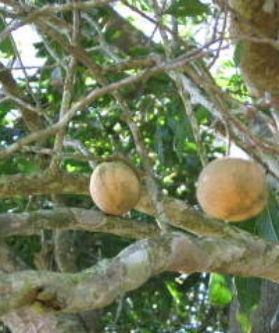 Threatened Ball Nut (Floydia praealta) with fruit, Lismore development assessment