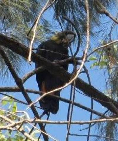 Threatened Glossy Black-cockatoo habitat assessment, Tucabia via Grafton