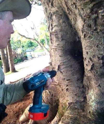 Small diameter drill assessment of decay cavity in Small-leaved Fig, Blue Hills College, Goonellabah via Lismore