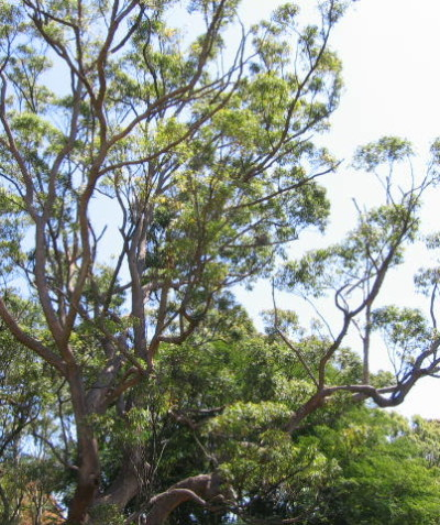Visual Tree Assessment (VTA) of large Tallowwood, Lismore Heights
