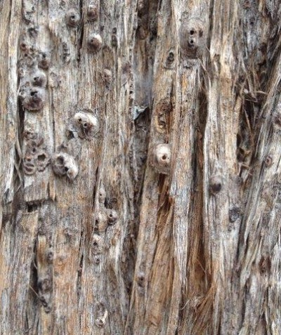 wasp parasitised scale on Tallowwood, Mullumbimby
