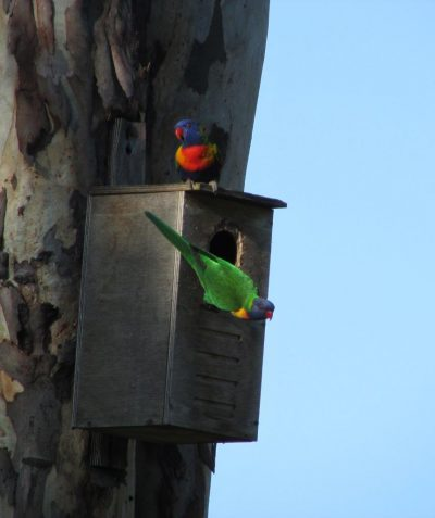 Rainbow Lorikeet using nest box
