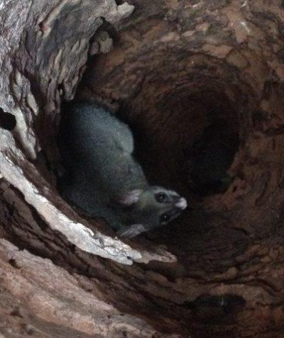 Brush-tailed Possum in tree stem hollow, spotter catcher works, Summerland Way Casino