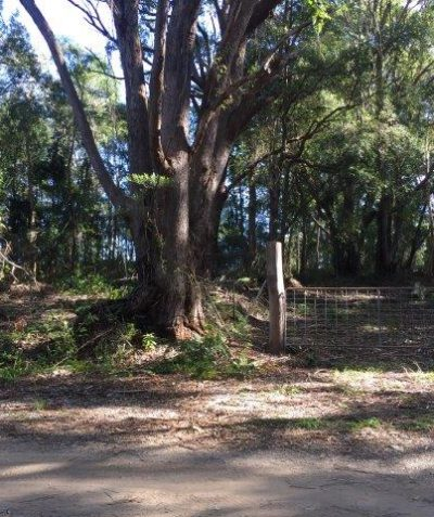 Crown road construction koala habitat and EEC assessment, Skinners Shoot via Byron Bay