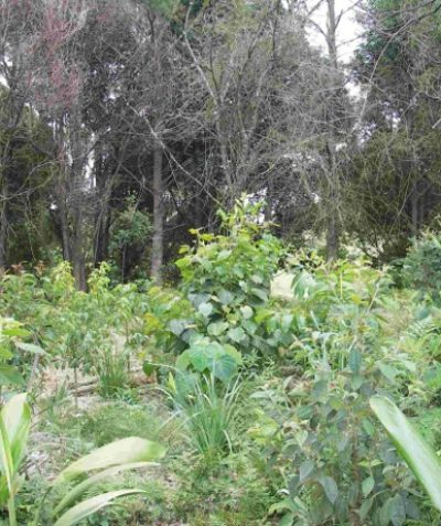 Ecologist rainforest vegetation management plan with weed control and plantings, Tintenbar via Ballina