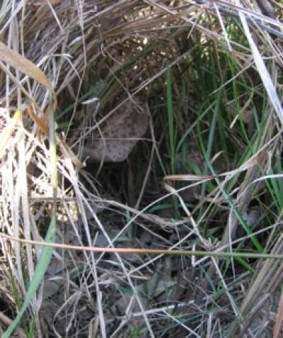 Fauna-habitat assessment of ground mammal runs through grassy understorey vegetation, land subdivision south west of Grafton