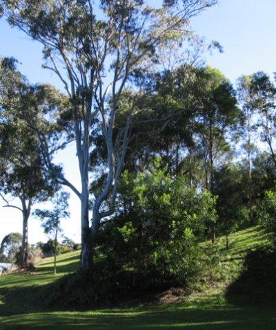 Koala habitat ecologist assessment for development, Goonellabah via Lismore