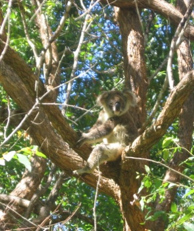 Koala Plan of Management, KPoM, development at Tregeagle, via Lismore