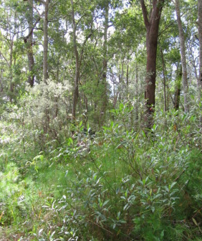 Threatened species searches in Subtropical Coastal Floodplain Forest EEC, Tucabia via Grafton