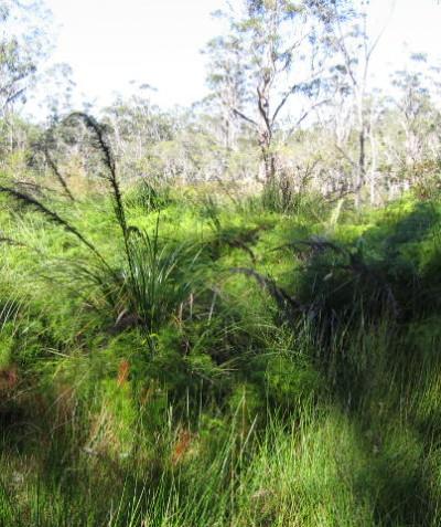 Property vegetation plan for Freshwater wetland EEC and swamp sclerophyll forest EEC at Bungawalbin via Casino