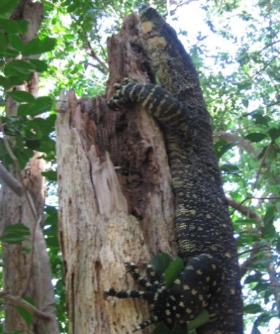 Lace monitor Goanna in lowland rainforest, Alstonville