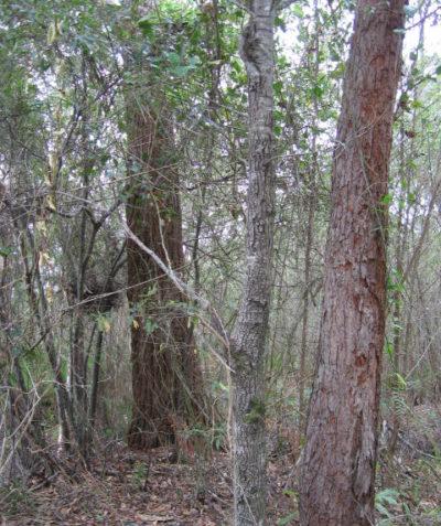 Koala habitat ecologist assessment of koala scat counts, swamp mahogany (Eucalyptus robusta), Bagotville Ballina Shire