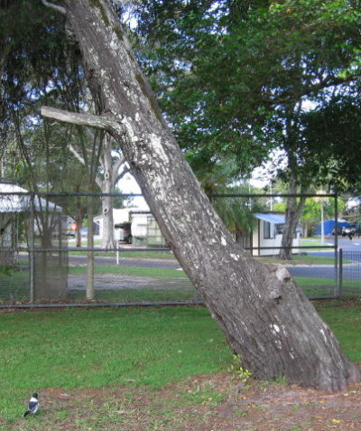 Significant lean and large decay cavity in stem opposite lean, tree risk assessment, Brunswick Heads Public School