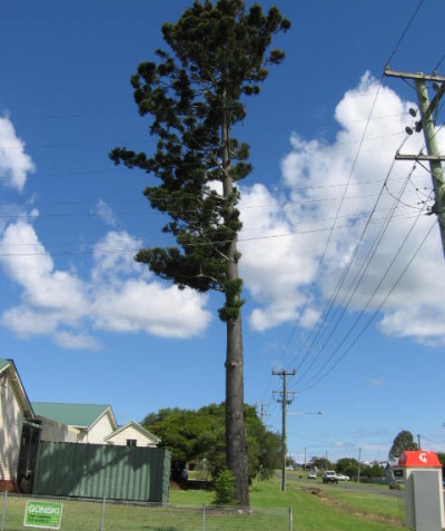 Tree risk assessment of very tall hoop pine with slight lean, high exposure and poor past pruning for power line clearance, Kyogle Shire