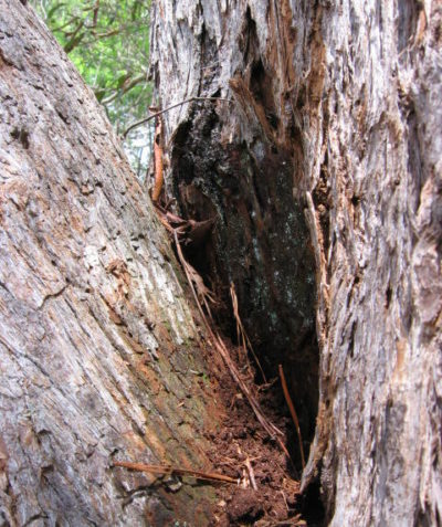Subsidiary nest of Coptotermes Termite in branch fork of tree with hollow stem, arborist survey Byron Shire