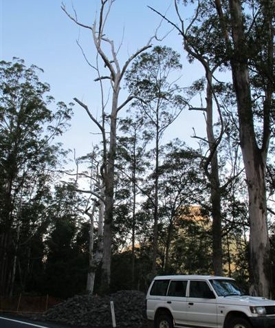 Tree hollow ecologist assessment and sunset nocturnal stag watch on hazardous dead tree, Kyogle Shire
