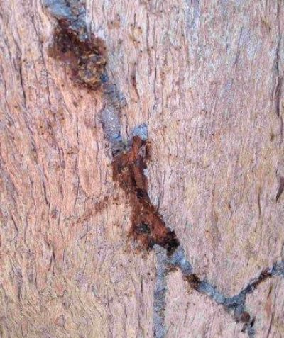 Distinctive mud trails on rough-barked tree of Niggerhead Termite, arborist tree survey at Casino