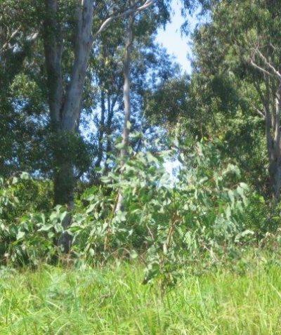 Bush fire vegetation, slope and distance assessments in koala habitat, Tatham via Casino