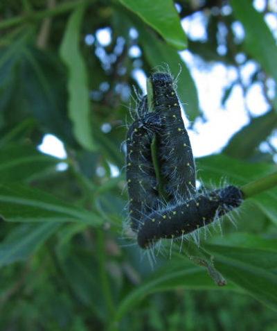 Jezebel caterpillar larvae on Mistletoe, Ballina
