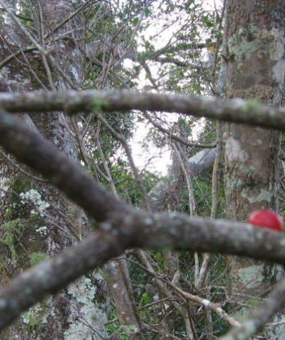 Bird lolly fruit of Brush Mistletoe, ecologist survey Ballina
