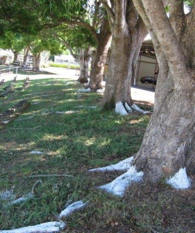 Tree health and condition assessment of Red Cedar, Alstonville showground showground