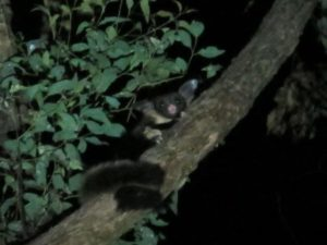 threatened glider ecologist 300x225 Threatened Species Management