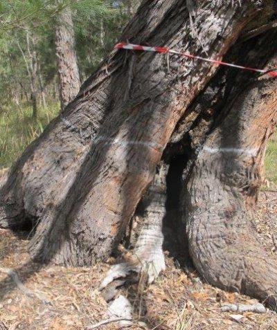 Ecologist pre clearing fauna habitat tree assessment for Pacific Highway upgrade, Tucabia via Grafton