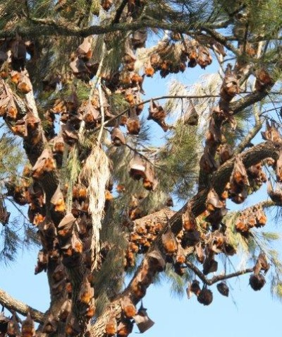 Casino flying-fox camp plan including Grey-headed Little-red Flying-foxes in urban Casino
