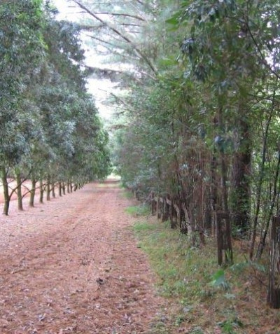 Residential subdivision macadamia vegetation buffer plan, Nashua via Bangalow