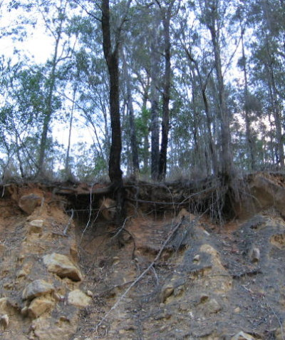 Roadside tree risk and ecological impact assessments and reports, Grevillea Kyogle