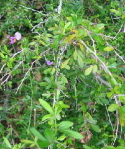 Threatened Thorny Pea (Desmodium acanthocladum) managed in riverine understorey, Booyong via Lismore