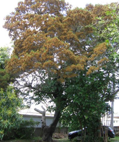 Tree impact assessment report and plan for development, Brunswick Heads