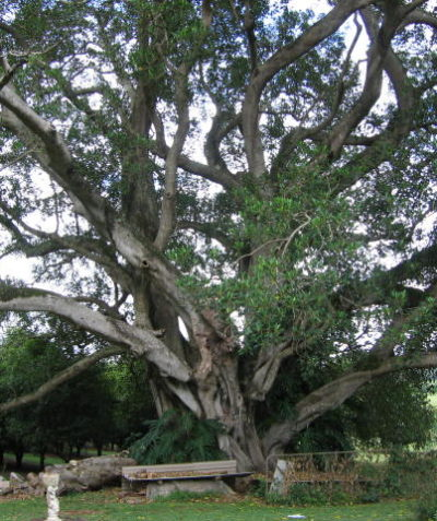 Tree risk arborist assessment of very large Moreton Bay Fig, Rous Mill via Ballina