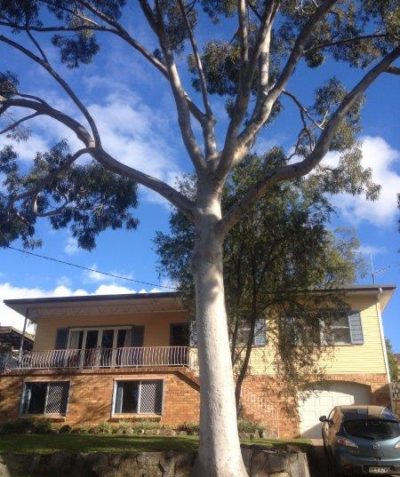 Arborist tree risk assessment of large Spotted Gum, Goonellabah via Lismore
