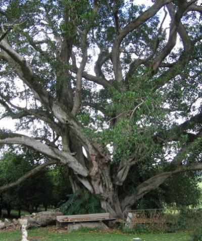 Tree risk assessment of very large Moreton Bay Fig, Rous Mill via Ballina